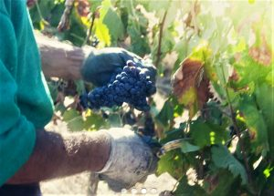 Bio-Wein in Handarbeit - auch im Alentejo bei Estremoz