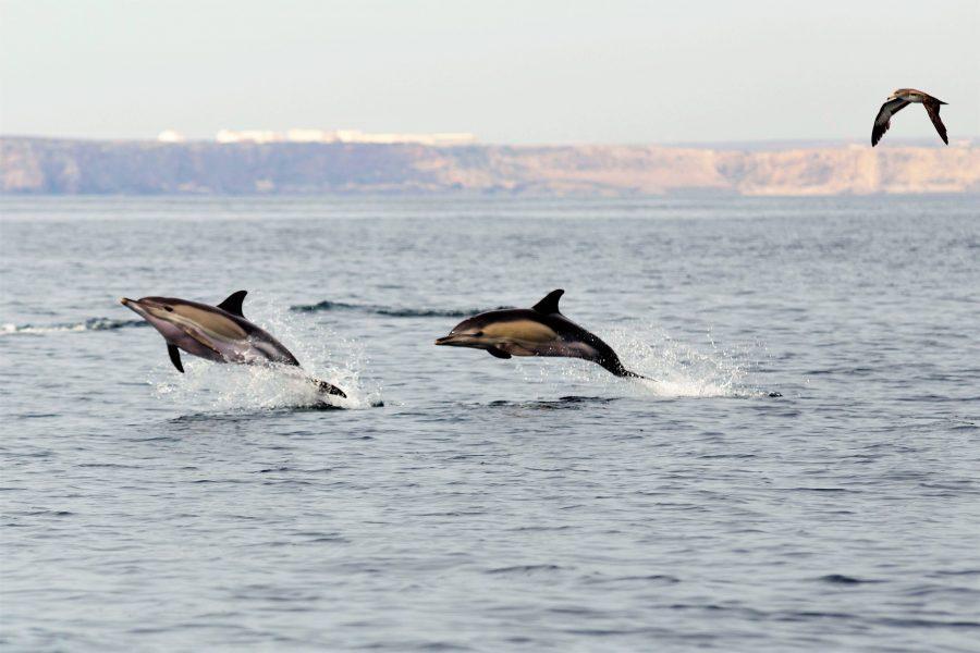 Algarve Vogelbeobachtung und Delfine an der Algarve-Küste