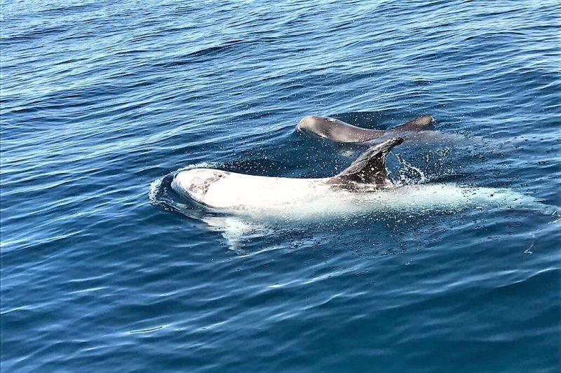 Wale und Delfine vor der Algarve-Küste beobachten führt auch zu Rundkopfdelfinen