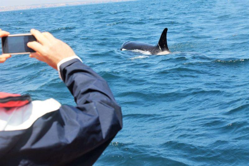 Wale und Delfine an der Algarve beobachten bringt auch mit Orcas in Kontakt - Schwertwalen