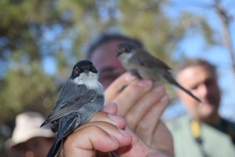 Vogelbeobachter beringen in Sagres an der Algarve Jungtiere