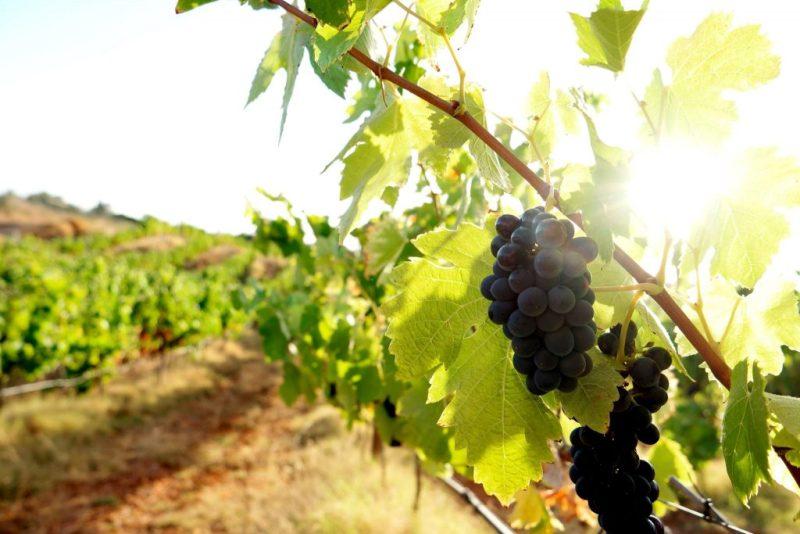 Algarve News zu Weinproduktion an Algarve und im Alentejo in 2018
