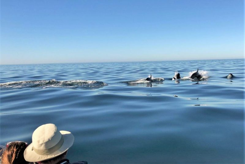 Orcas vor der Algarve-Insel Culatra gesichtet