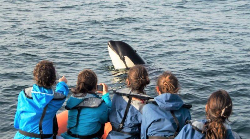Orcas an der Algarve: Schwertwal-Baby bei Sagres gerettet